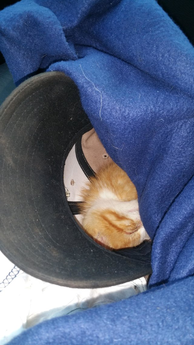 chaton roux chantier