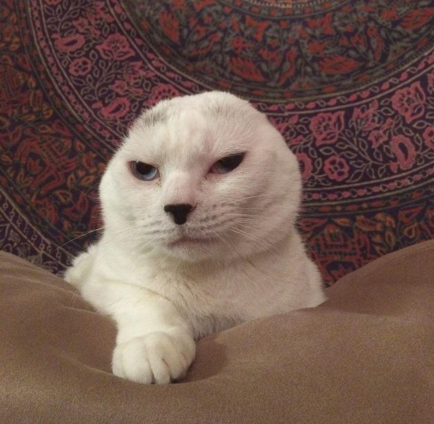 otitis chat oreilles coupées
