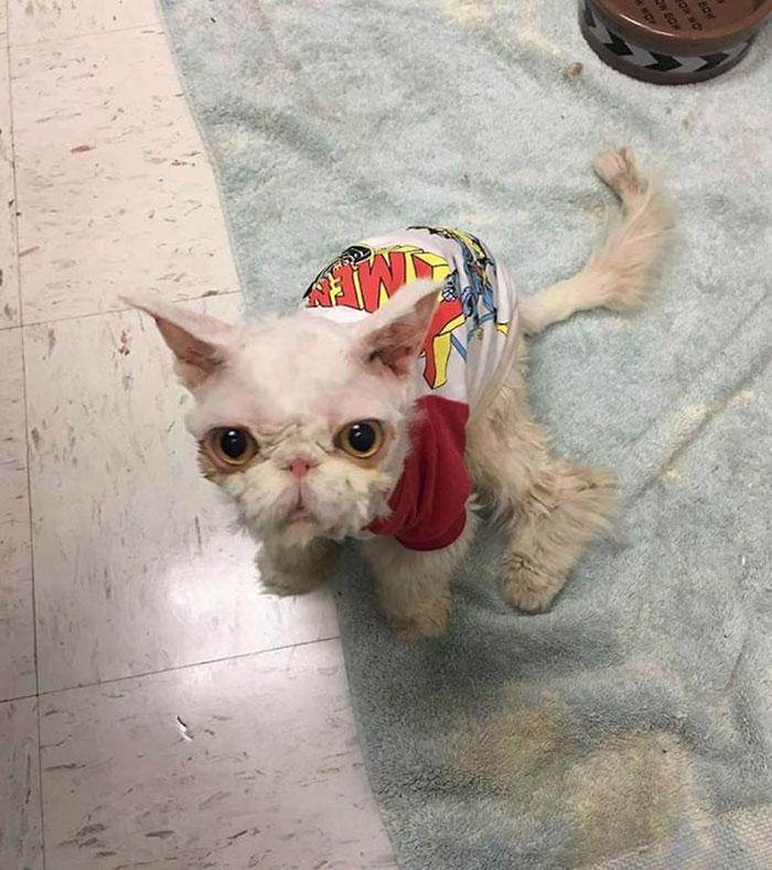 sinbad chat persan maltraité