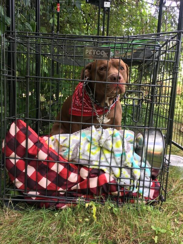 pitbull chien cage