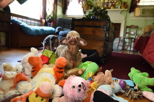 caniche jouets bonheur