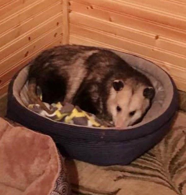 opossum chat