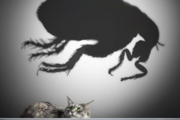Mon chat a des puces : traitement et prévention