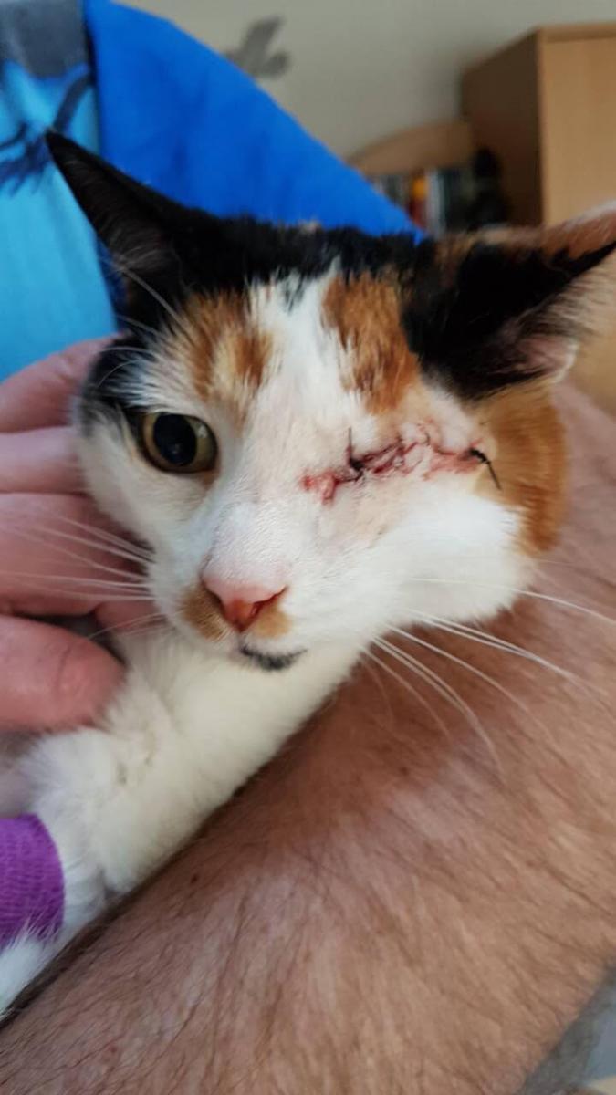 chatte tricolore oeil blessé
