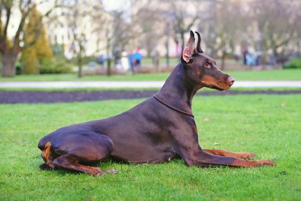 L'amputation de la queue causerait des douleurs au chien sur le long terme