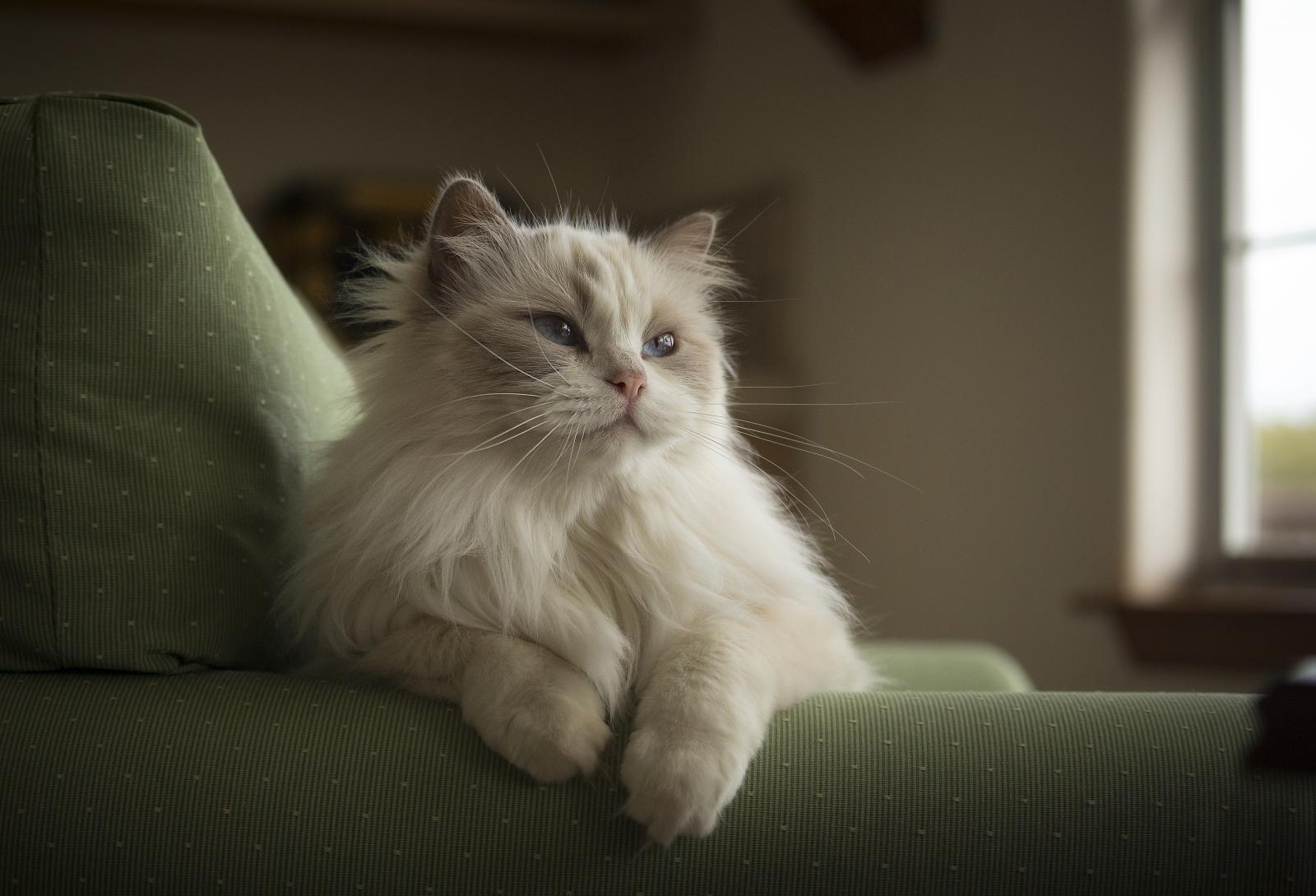 ragdoll-pelage-blanc