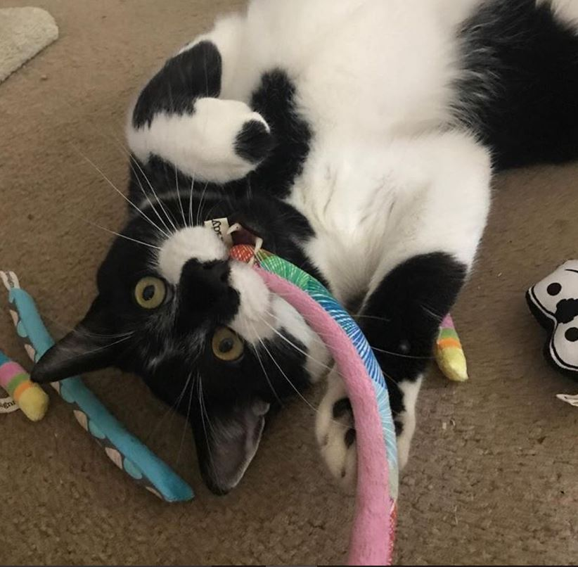 chat noir et blanc joue