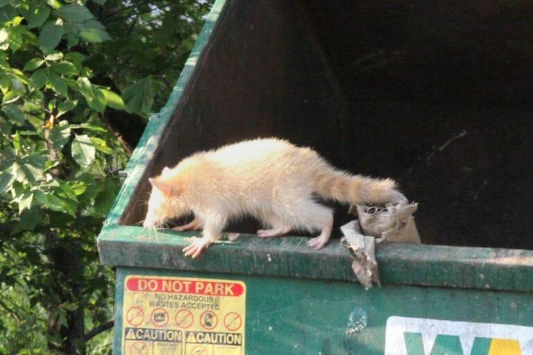 raton laveur poubelle