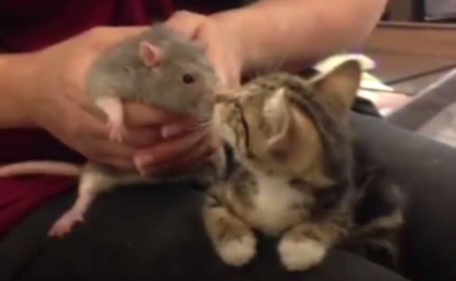 rat et chaton