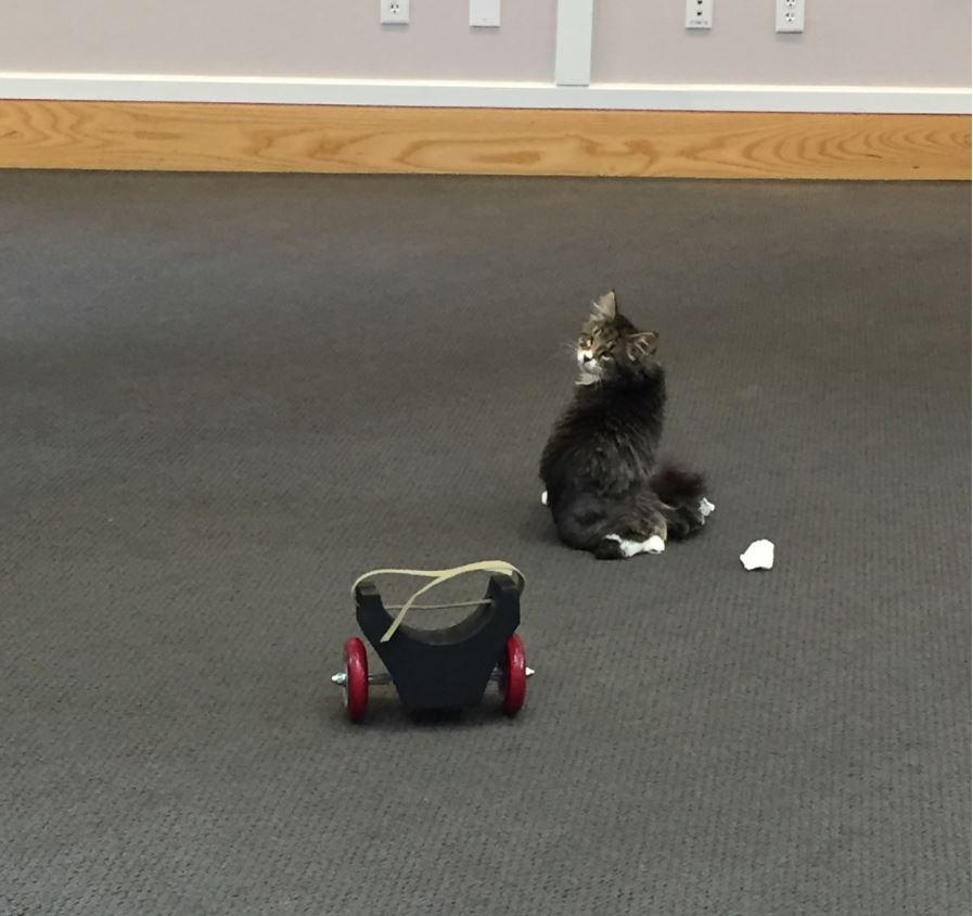chaton maine coon handicapé