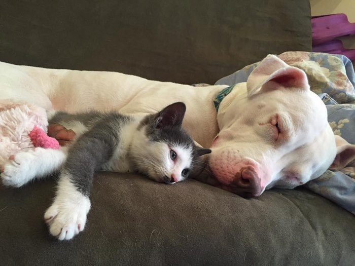 pitbull qui aime les chats