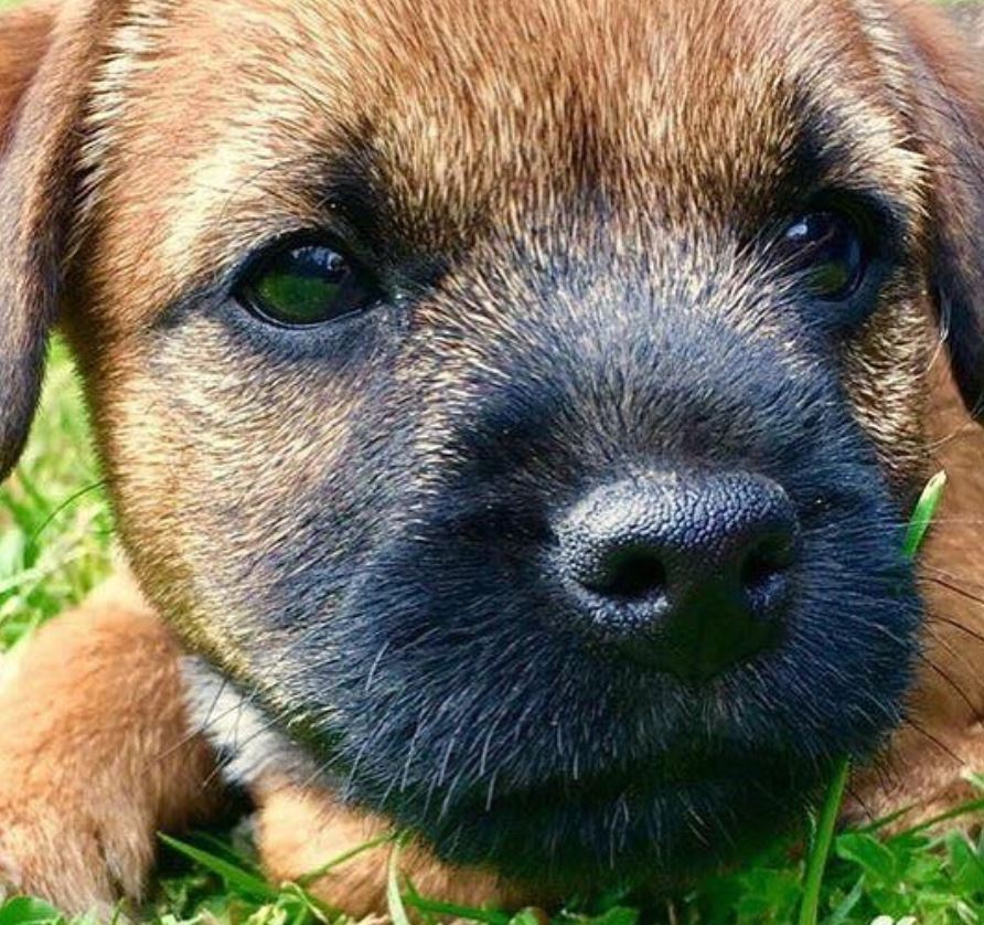 chiot border terrier