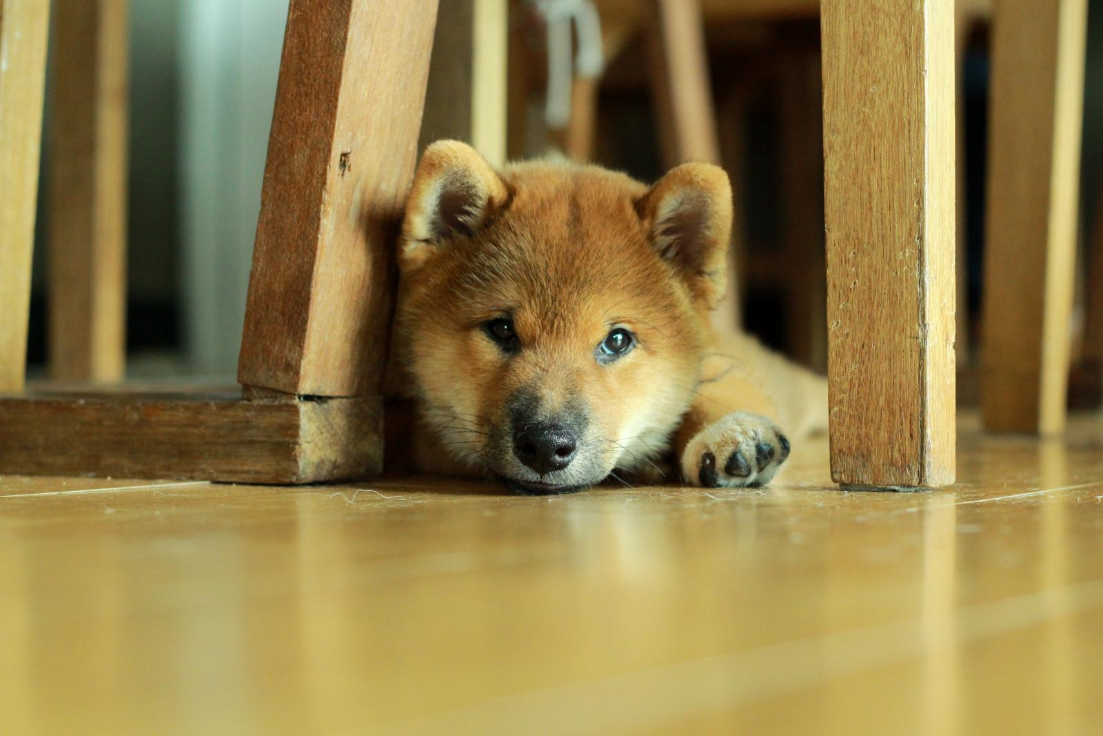 shiba chien