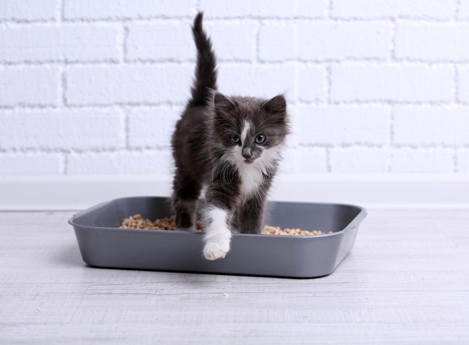 chat chaton litière pipi