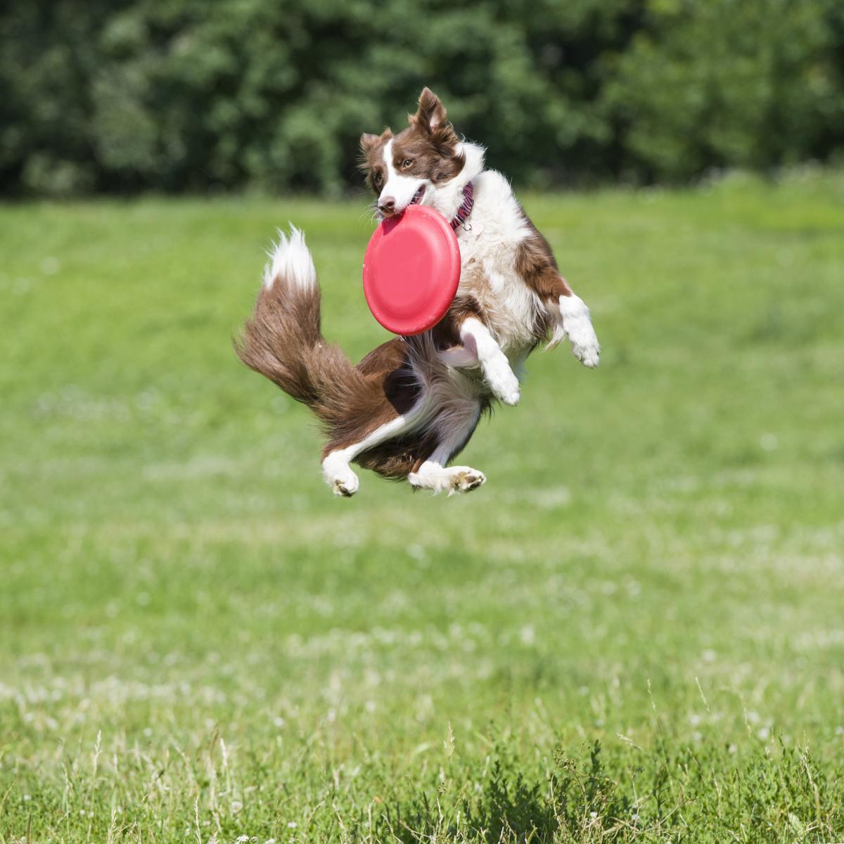frisbee sport chien jeux