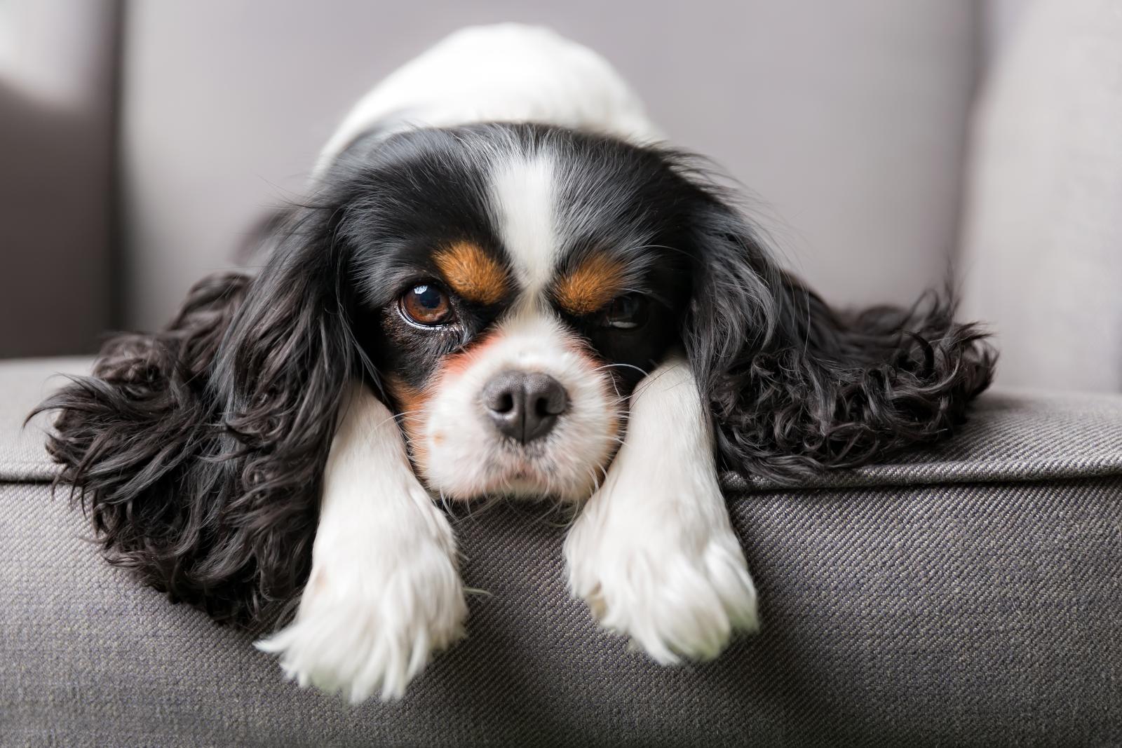 chien poils longs