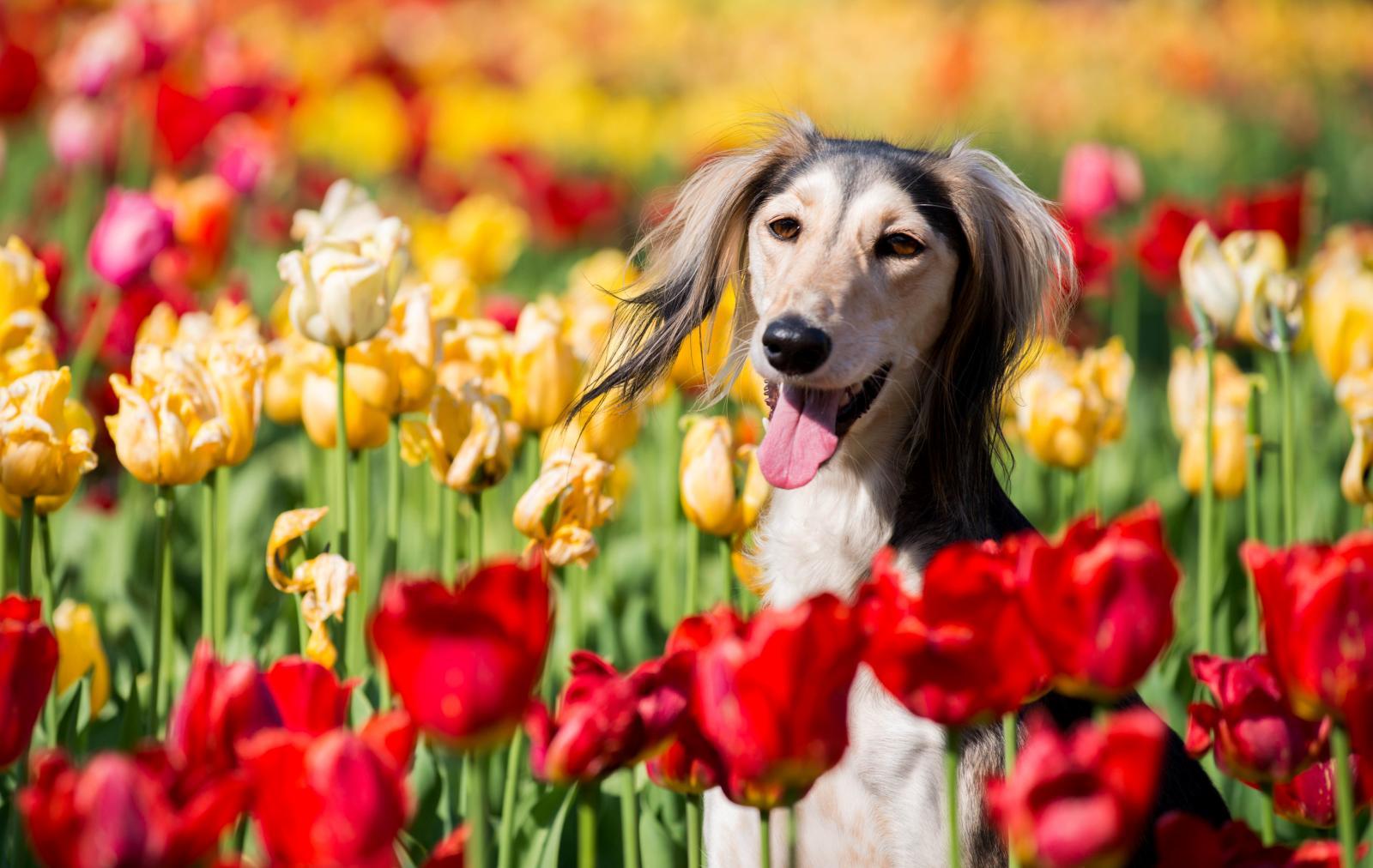 race saluki chien