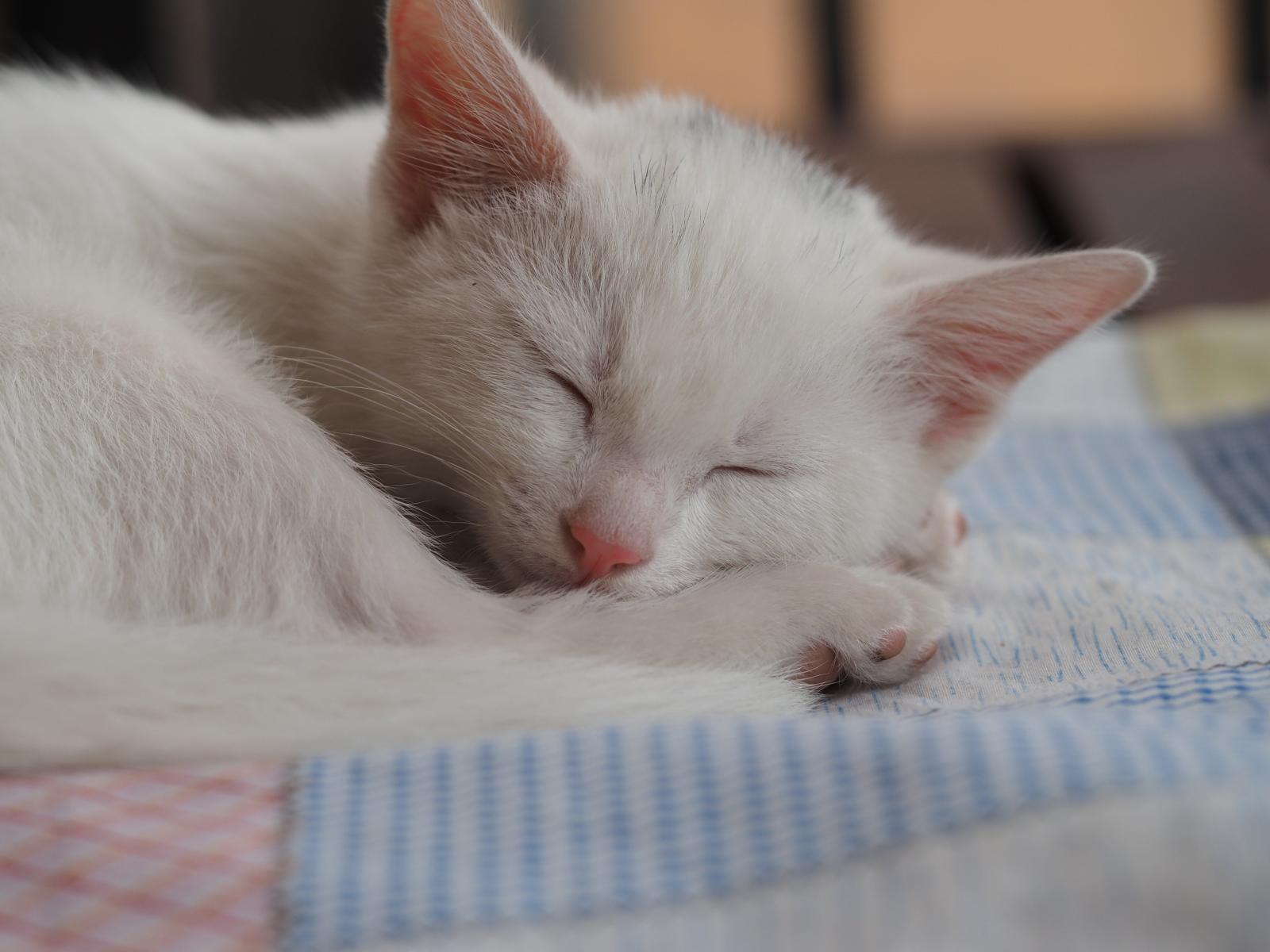 chat blanc qui dort
