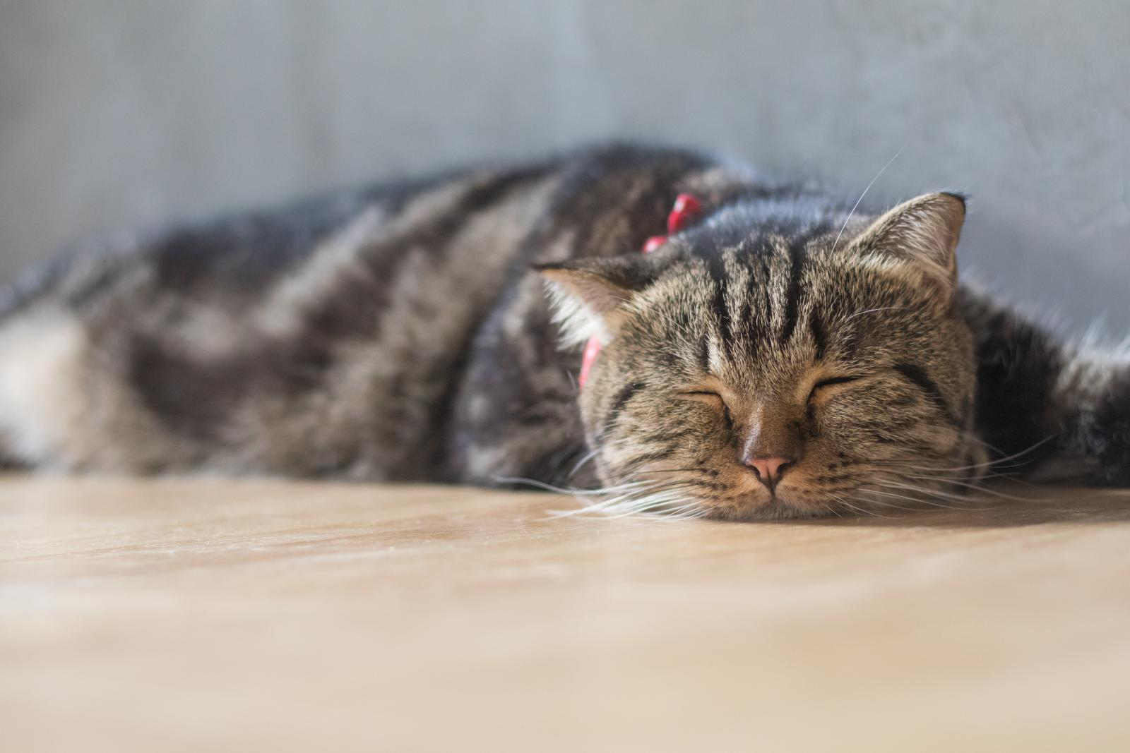 chat couché malade