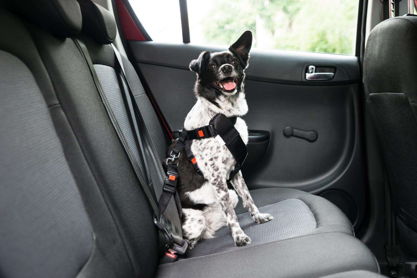 chien ceinture sécurité voiture