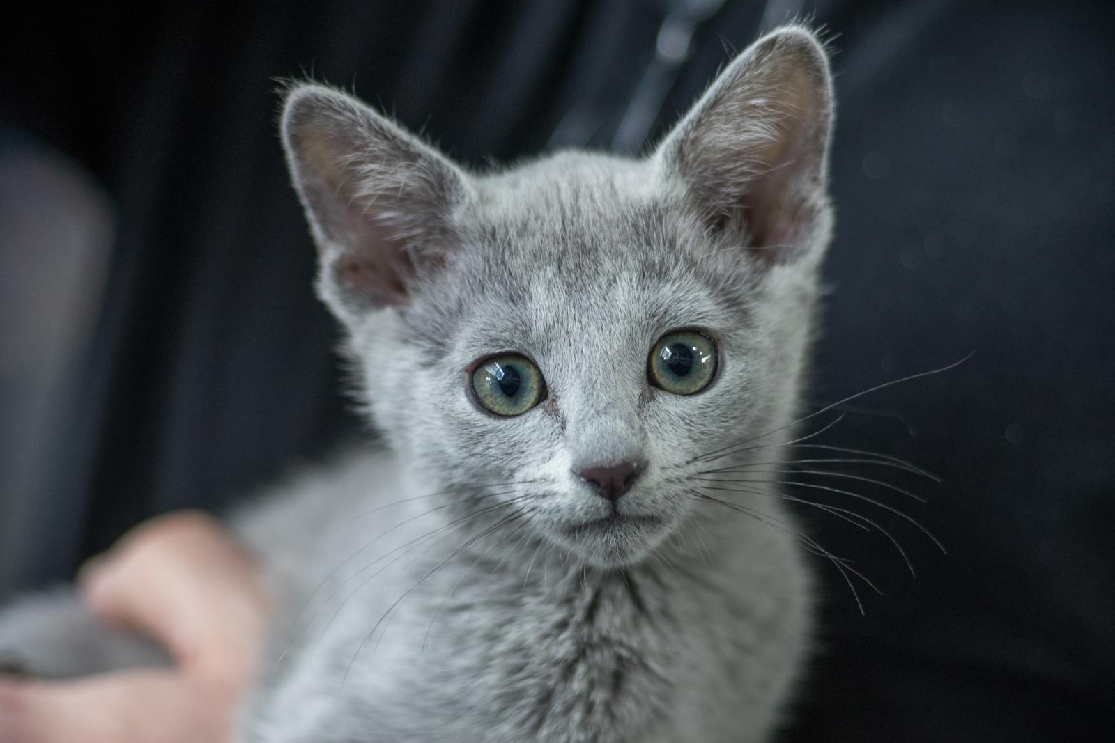 bleu russe chaton