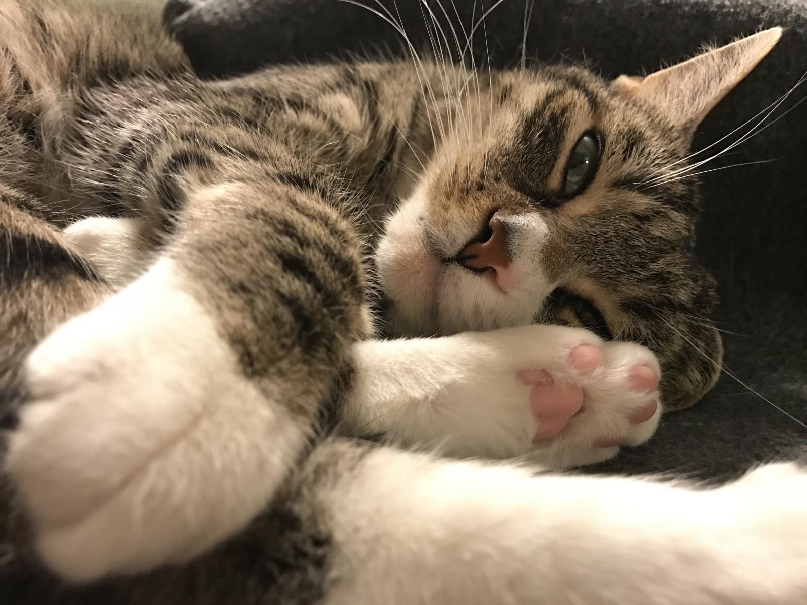 chat gris ronron thérapie
