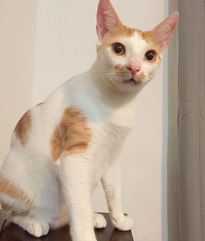 chat blanc roux