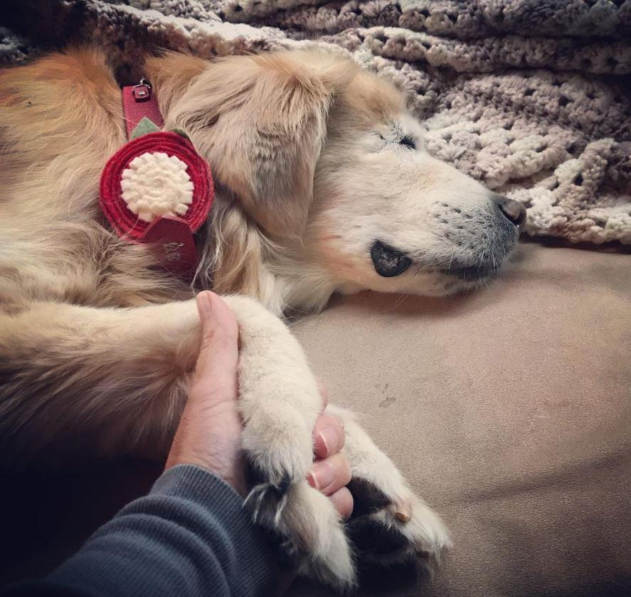 chien aveugle golden retriever