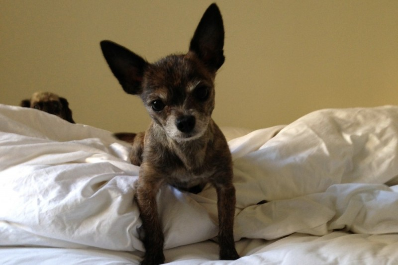 snoopy yorkshire chihuahua
