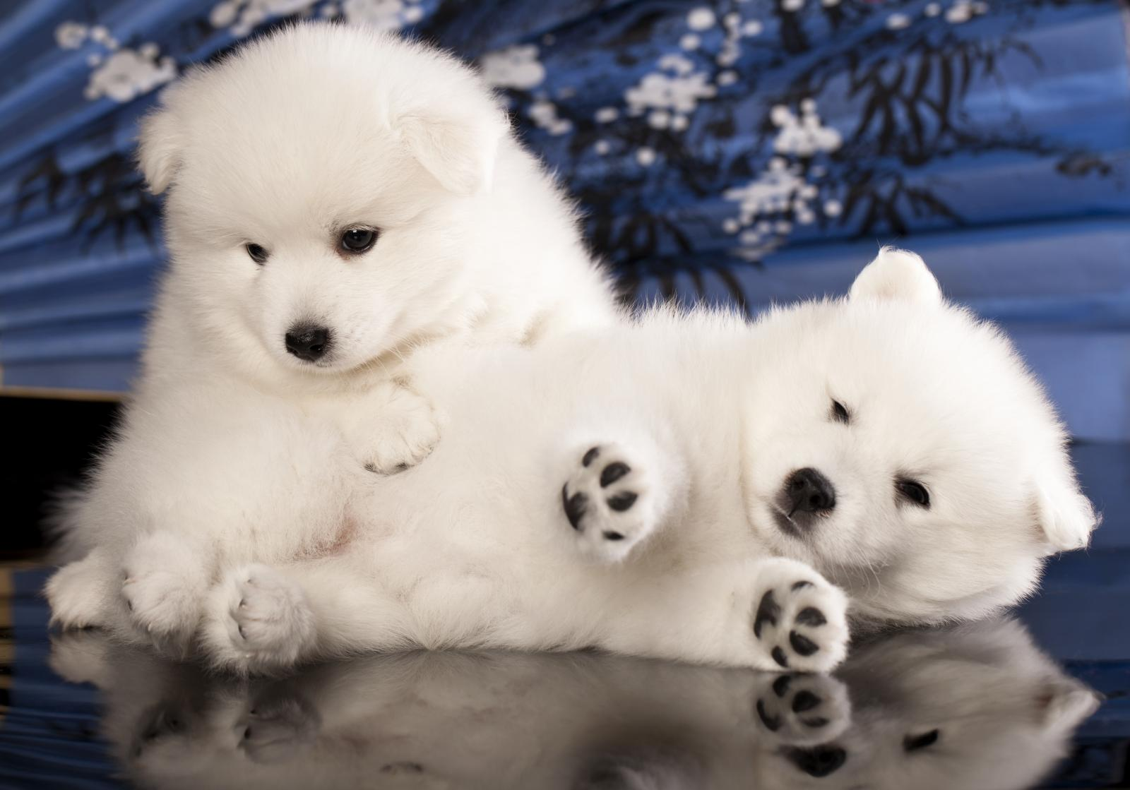 spitz blancs mignons