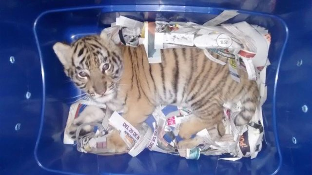 tigre chien boite