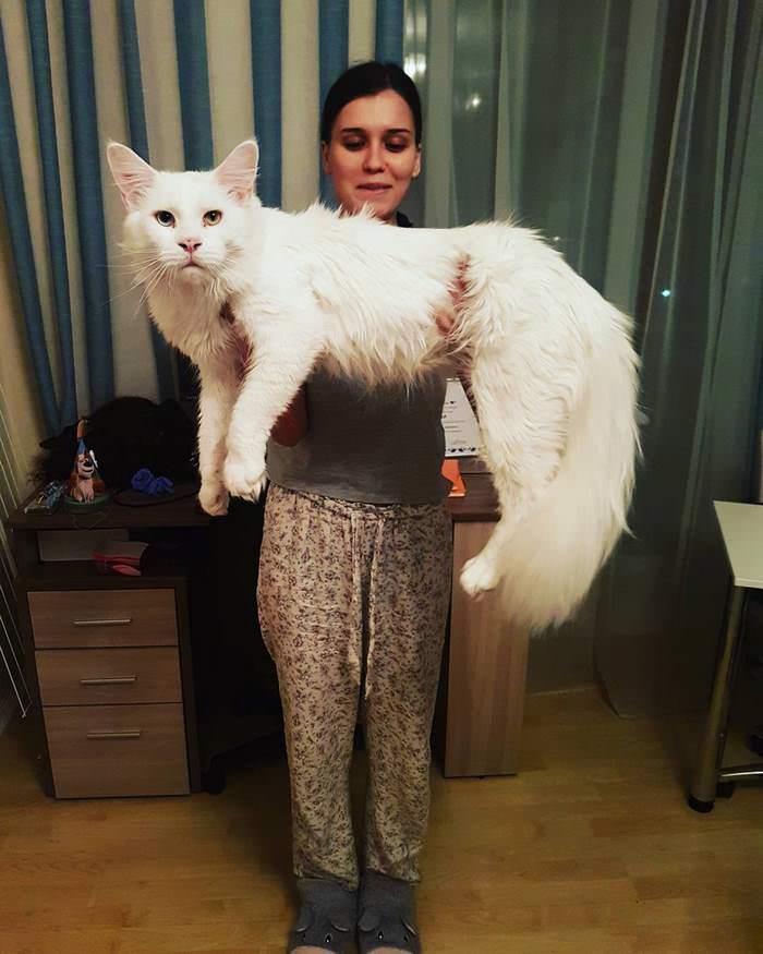 immense chat blanc