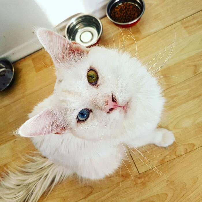 maine coon yeux