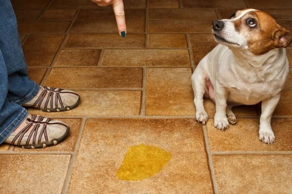 Comment rendre un chiot propre à la maison