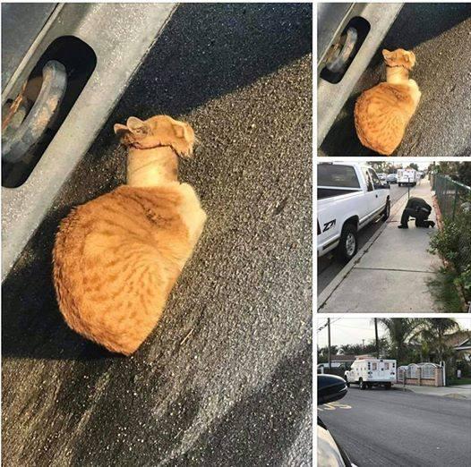 chat rouleau adhésif