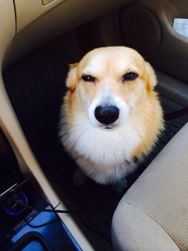 corgi chien voiture