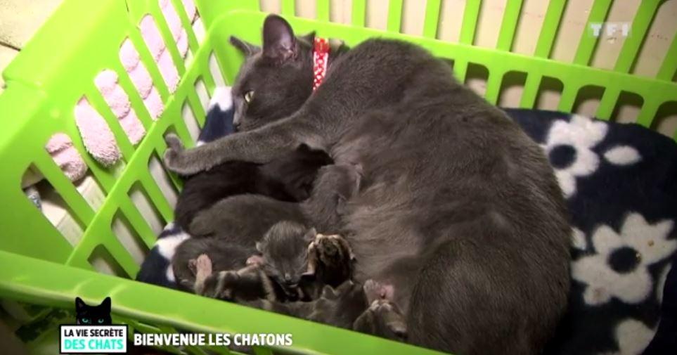 chatte portée chatons