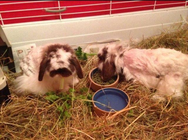 lapins angora