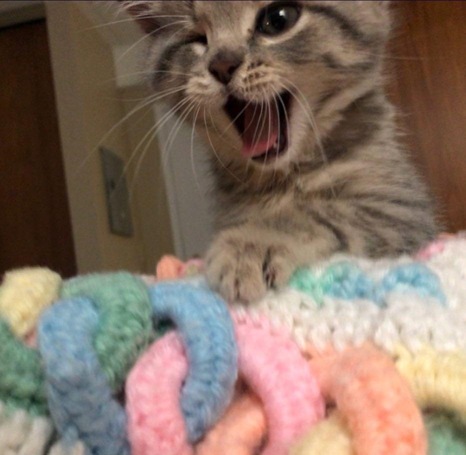 chaton qui baille