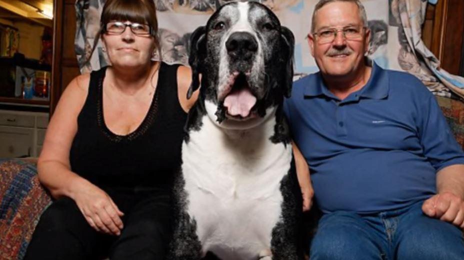 dogue allemand géant